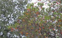 L'arbousier, les fruits de l'automne - BFIM9184 (6franc6) Tags: occitanie languedoc gard 30 milhaud novembre 2019 6franc6 vélo kalkoff vae