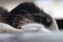 Frida 1 Woche bei uns (glaserei) Tags: hunde hund haustier australianshepherd frida