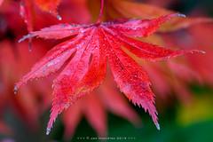 Herfst Macro (Japanse Esdoorn - Japanese Maple) (JnHkstr) Tags: 2019 japanseesdoorn japanesemaple macro 105 nikon d500 herfst autumn