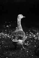Goose On Christ Church Meadow (pjfchad) Tags: christchurchmeadow oxfordchristchurchmeadow goose
