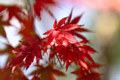 maple leaves (Christine_S.) Tags: tree leaf canoneosm5 bokeh autumn fall nature japan macro colors ef100mmf28lmacro light bright acer red ngc npc