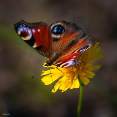 Butterfly (Geeth67) Tags: butterflies butterfly sommerfugl sommerfugler blomster flower nature canon