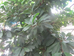 Lovely leafy tree! Tropical  Zone I, Arganzuela Hothouse, Madrid (d.kevan) Tags: plants trees foliage leaves madrid arganzuelahothouse tropicalzonei unnamed