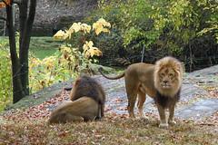 (NilsPix) Tags: lions bronxzoo
