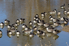 Goose Gathering (Let Ideas Compete) Tags: goose geese heclalake heclareservoir lake pond reservoir