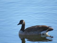 Cackling Goose (Craigs Travels) Tags: brantahutchinsii bird goose cacklinggoose
