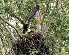 Parent leaving #2 (jonathan.pratt14) Tags: baldeagle birdofprey haliaeetusleucocephalus d3 afs200500mmf56eedvr may2019 clarkcountywashingtonstate salmoncreekwatershed raptor adultbaldeagle