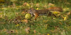 Catch Me if You Can (Slow Turning) Tags: tamiasciurushudsonicus americanredsquirrel rodent running carrying blackwalnut nut food panned autumn fall southernontario canada