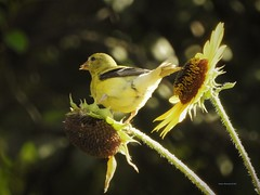 Female Yellow Finch (Anton Shomali - Thank you for over 3 million views) Tags: male yellow finch sunflower seeds nikon coolpix p900 bird small house hungry food american goldfinch nature yellowbird summer garden backyard backyardbird plant sun sunshine bright shadow brightsun