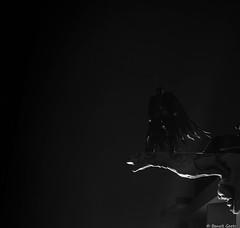 Batman (BenoitGEETS-Photography) Tags: a6000 sony figurine toys jouet 112 batman comics brainelecomte noiretblanc nb bw bn nuit night héros hero gargouille gargoyle