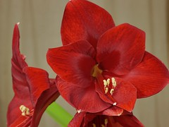 Amarilys pourpre / Time lapse (Rolumix-) Tags: closup amarilys lumixg7 fleur flower