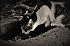 thirsty (Sat Sue) Tags: olympus micro four thirds m43 penf japan fukuoka cat shrine
