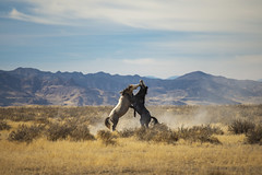 Epic Battle (JasonCameron) Tags: wildl horses utah west desert wilderness dugway roam november dry dusty fight war battle male stallion bite