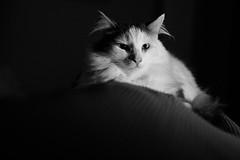 312-365 (Garen M.) Tags: chip ellie jojo nikkor2470f28s nikonz6 home kitten