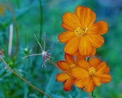 Cosmos (Stephen G Nelson) Tags: flower cosmos botanicalgarden tucson arizona