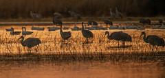 Before Flyout | Bosque del Apache NM (sunrisesoup) Tags: sandhill crane snow goose geese bird nature bosque del apache nm