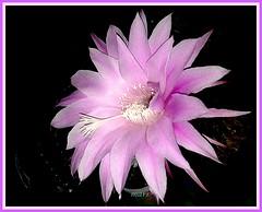 echinopsis hibrido (mnovela2293) Tags: echinopsis echino espinas cactáceas cactus originario américadelsur hibrido