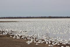Snow geese resting (pegase1972) Tags: goose geese oie nature bird landscape canada québec quebec qc