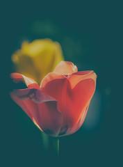 tulips, tulips... (marinachi) Tags: tulip nature flowers flowersasart red yellow closeup