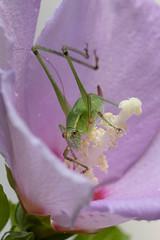 Grasshopper - one antenna broken (tgorsak) Tags: backyard grasshopper
