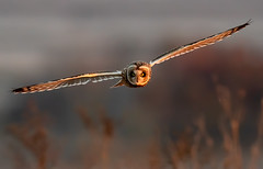 Short-eared Owl (Thy Photography) Tags: haywardregionalshoreline raptor owl shortearedowl wildlife animal nature outdoor backyard california bird sunrise sunset dawn dusk sunshine thyphotography