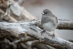 Dark-eyed Junco | Junco hyemalis | Junco ardoisé (Paul B Jones) Tags: princeedwardcounty bird darkeyedjunco juncohyemalis juncoardoisé nature wildlife pointtraverse princeedwardpointnationalwildlifearea ontario canada canon eos1dxmarkii ef600mmf4lisiii 14xiii