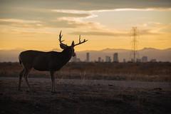 Rocky Mountain Arsenal National Wildlife Refuge (ap0013) Tags: deer buck animal nature wildlife nwr denver colorado denvercolorado rockymountain arsenal national refuge city cityscape sun sunset skyline prairie urban