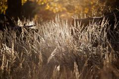 IMG_0398_DxO (geraldtourniaire) Tags: natur nature canon schärfentiefe bokeh gegenlicht gräser 6d eos6d 70200l 70200mm