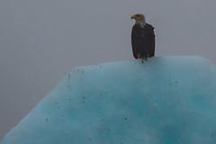 Soaked Eagle (jeff's pixels) Tags: alaska juneau landscape nature iceberg nikond850 ice eagle car bus train plane