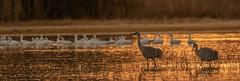 Cranes & Snow Geese  | Bosque del Apache NM (sunrisesoup) Tags: sandhill crane snow goose geese liftoff sunrise bird nature bosque del apache nm