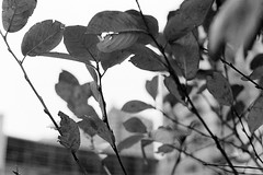 Leaves (shutterlens.ca) Tags: red pentax spotmatic ii kodak trix 400tx 35mm smc takumar 55mm f216 blackwhite bw bnw black white montreal