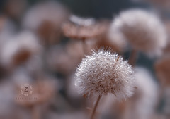 Liquid pearls (Zara Calista) Tags: dew morning droplets water drop plant weed light soft bokeh nikon macro