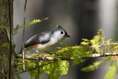 Tufted Titmouse (BEHP Photography) Tags: songbird nikkor fortmyers florida trees green nikond850 nikon sixmileslough outside bird birds tuftedtitmouse