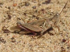Melanoplus fluviatilis, female (tigerbeatlefreak) Tags: melanoplus fluviatilis insect grasshopper orthoptera acrididae wisconsin