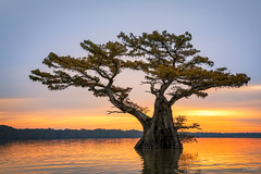 Bonsai Tree (Hilton Chen) Tags: atchafalayabasin autumn bayou bonsai cypresstrees fallcolors landscape louisiana sunrise swamp