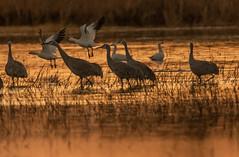 Cranes & Snow Geese  | Bosque del Apache NM (sunrisesoup) Tags: sandhill crane snow goose geese sunrise bird nature liftoff gold orange bosque del apache