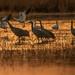 Cranes & Snow Geese    Bosque del Apache NM