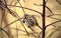 Song sparrow (schreckpeter45) Tags: bird sparrow songsparrow songbird