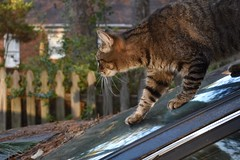descent (rootcrop54) Tags: slope car window sky reflection camille female mackerel tabby cat auto automobile light neko macska kedi 猫 貓 kočka kissa γάτα köttur kucing gatto 고양이 kaķis katė katt katze katzen katua kot кошка mačka gatos kotek мачка pisică pisici maček kitteh chat ネコ cc100
