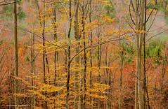 Jesen u šumama oko Klane, studeni 2019. (6) (MountMan Photo) Tags: klana šuma rijeka primorskogoranska croatia forest bojejeseni autumncolors landscape krajolik žutolišće yellowleaves flickrunitedaward