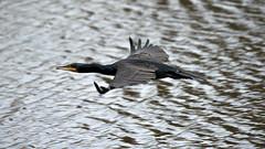 Cormorant in flight (1/2) (Franck Zumella) Tags: low lake bas lac water eau blue bleu cormorant cormoran oiseau bird black noir nature composition fast fly flying vol voler rapide sony a7s a7 tamron 150600