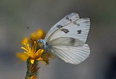 Checkered White (Pontia protodice) (Ron Wolf) Tags: checkeredwhite lepidoptera owensvalley pieridae pontiaprotodice butterfly insect nature wildlife california