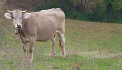 VACA (Joan Biarnés) Tags: camìdelfar laselva girona catalunya paisatge paisaje vaca baca 350 panasonicfz1000