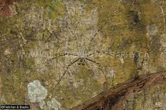 43782 Lichen spider (Pandercetes sp) camouflaged against the trunk of a tree, lowland rainforest, Taman Negara National Park, Kuala Koh, Kelantan, Malaysia. (K Fletcher & D Baylis) Tags: animal wildlife fauna arachnid spider lichenspider huntsman huntsmanspider pandercetes sparassidae heteropodidae camouflage lowlandrainforest tamannegaranationalpark kualakoh kelantan malaysia asia november2019 ©fletcher baylis