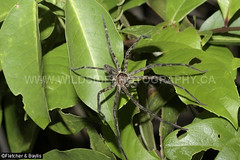 43739 Hunstman Spider (Heteropoda sp) on leaves in a mangrove swamp, Setiu Wetlands, Terengganu, Malaysia. (K Fletcher & D Baylis) Tags: wildlife animal fauna arachnid spider huntsmanspider heteropoda mangrove setiuwetlands terengganu malaysia asia november2019 ©fletcher baylis