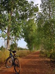 Eucalyptus tunnel in Kut Bong 2 (SierraSunrise) Tags: thailand phonphisai nongkhaiisaan esarn roads dirt unpaved red transportation bicycle trees tunnel eucalyptus