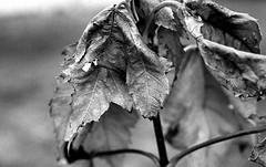 The other side of autumn {Explored, thank you} (Desert Sun Images) Tags: ilfordhp5 1600 d76 35mmfilm epsonv550 monochrome blackandwhite canona1 vivitar55mmf28macro