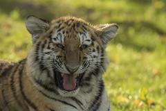 Amoertijger - Safaripark Beekse Bergen - Hilvarenbeek (Jan de Neijs Photography) Tags: zoo nl tamron dierentuin dierenpark 150600 tamron150600 holland animal tiger thenetherlands g2 tijger dier safaripark beeksebergen amurtiger hilvarenbeek dieniederlande diergaarde safariparkbeeksebergen sbb noordbrabant pantheratigrisaltaica roofdier welp siberischetijger amoertijger tamron150600g2
