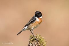 Stonechat - Male 501_9478.jpg (Mobile Lynn) Tags: chatsrelatives nature stonechat birds chat bird fauna passerine saxicolarubicola wildlife coth specanimal ngc coth5 npc