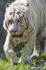 Male white tiger walking, concentrated... (Tambako the Jaguar) Tags: tiger big wild cat bengal white male portrait face walking coming approachning paw grass vegetation sunny concentrated bratislava zoo slovakia nikon d5